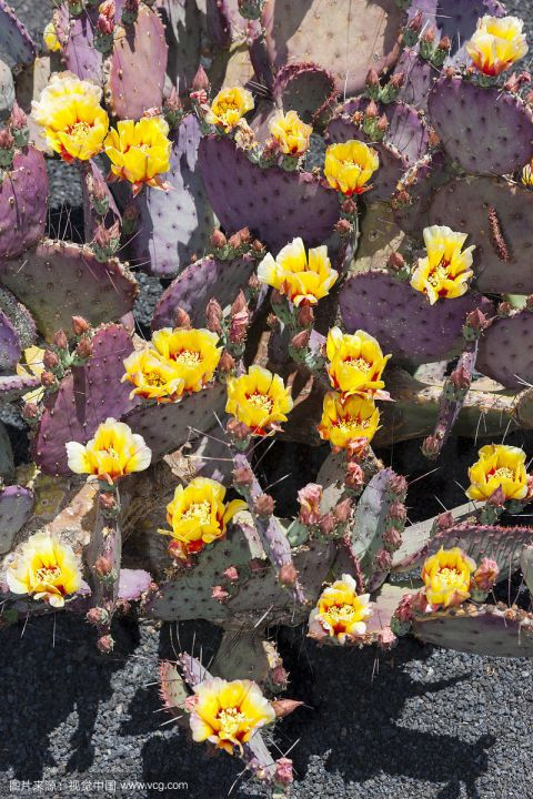 仙人掌科植物 一图片